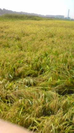2008稲刈りばっちりばってん